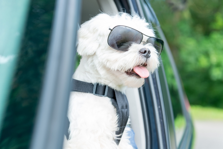 Small dog maltese in a car with open window. Dog wears a special