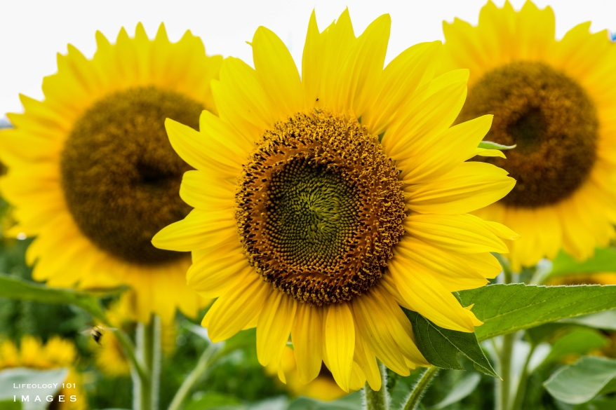 Caledon Sunflower Fields, Places to visit in Caledon Ontario, Things to see in Ontario, Caledon East Ontario,