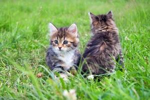 Two  Little Furry Kitten Playing In Spring Meadow. Kitten On Gre
