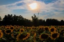 IMG_8429Sunflower Fields Davis Family Farm Caledon